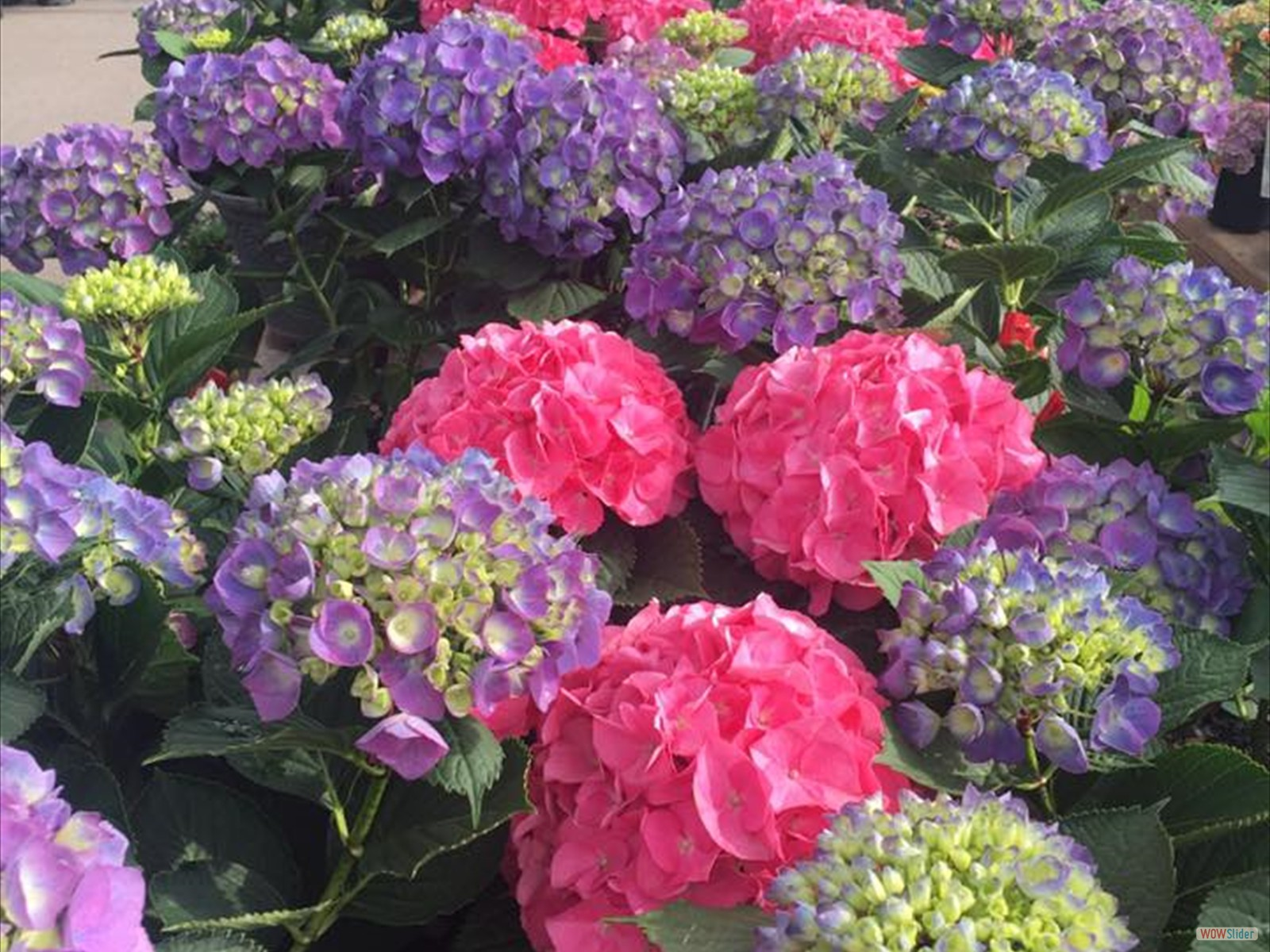 Hydrangeas Mothers day slider photo1
