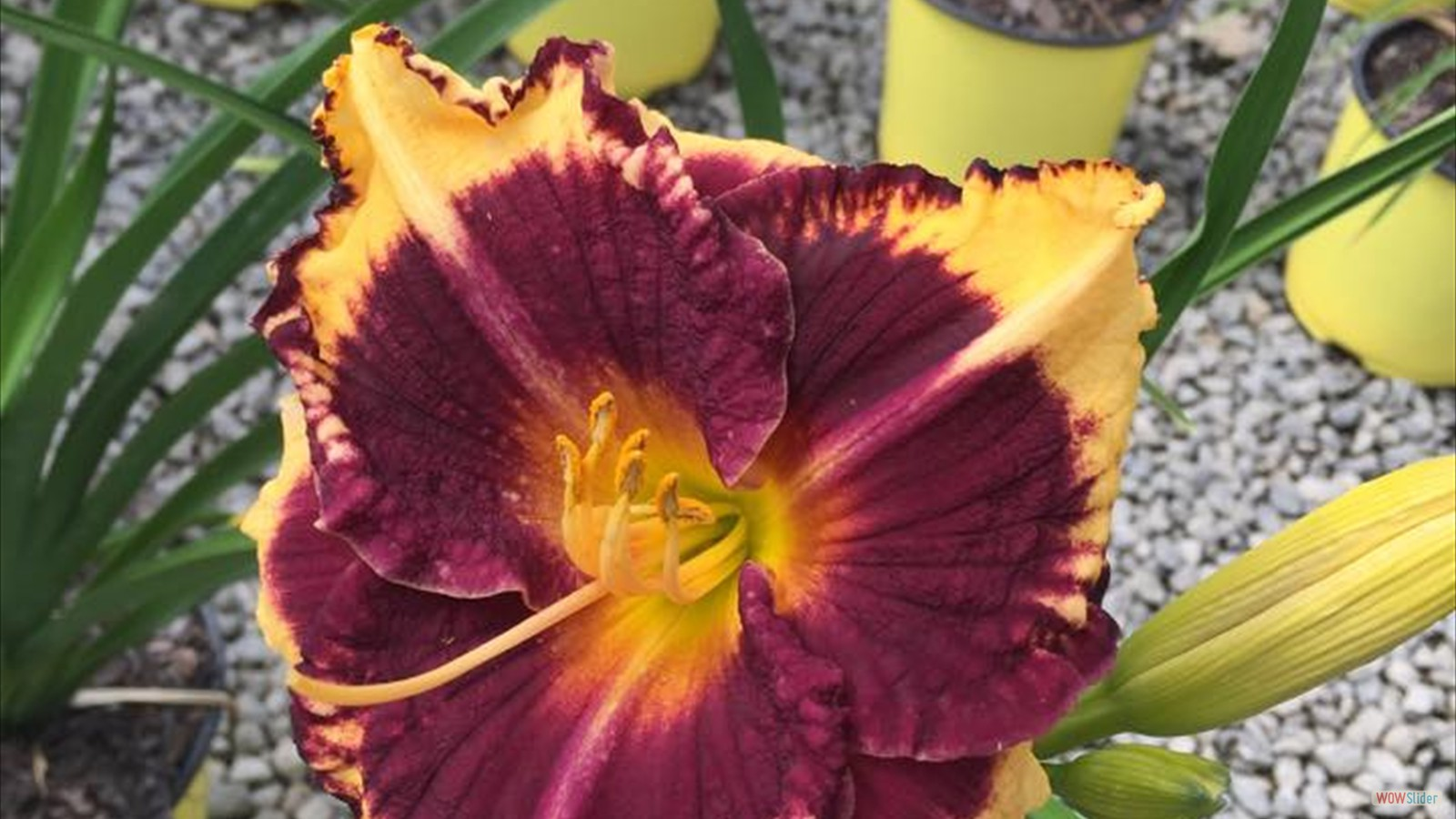 day lilly 3
