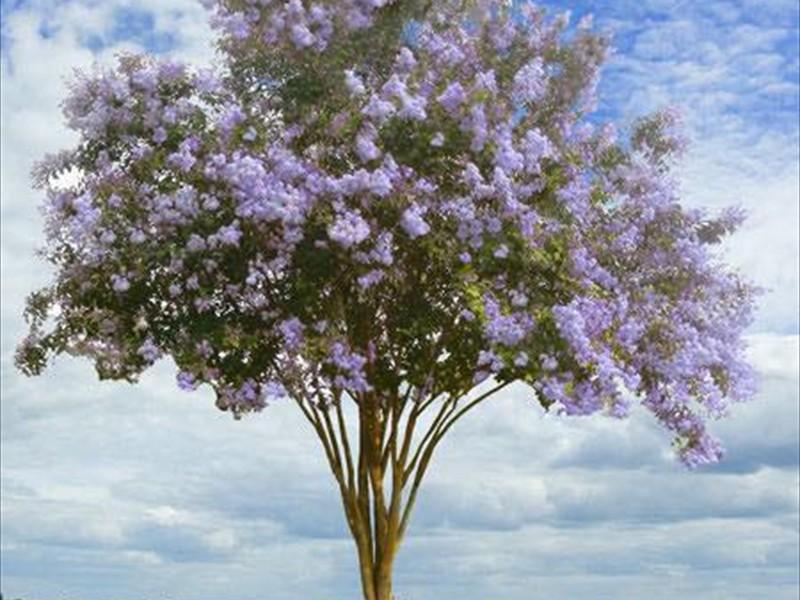 crepe myrtles light purple
