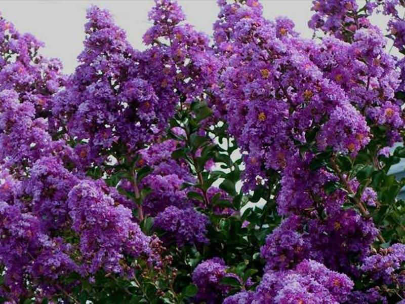crepe myrtles purple