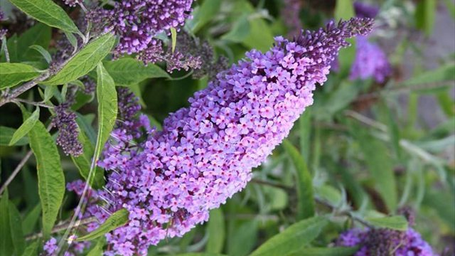 butterfly bush - Copy - Copy - Copy