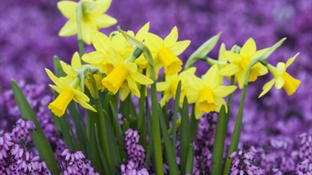 daffodils - Copy - Copy