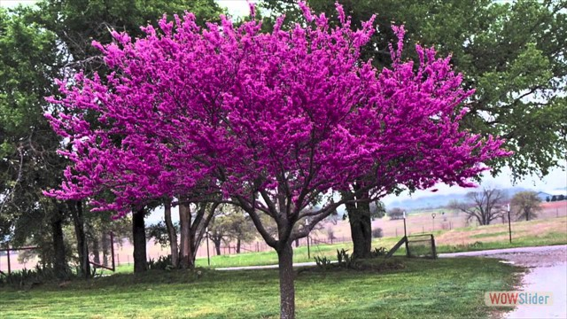 Red Bud Trees 022417